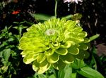 Photo Garden Flowers Zinnia , green