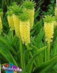 Photo Pineapple Flower, Pineapple Lily characteristics