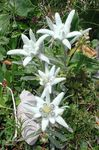 Foto Edelweiss omadused