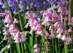 Photo Spanish Bluebell, Wood Hyacinth characteristics