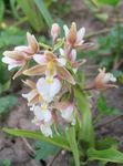 Photo Marsh Helleborine, Swamp Epipactis characteristics