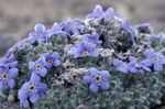 Photo Arctic Forget-me-not, Alpine forget-me-not characteristics