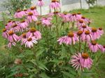 Photo Coneflower, Eastern Coneflower characteristics