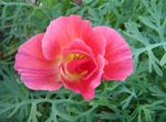 Photo California Poppy characteristics