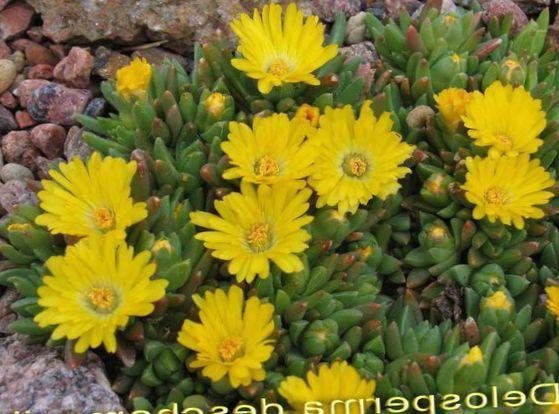Have blomster hårdfør is plante (delosperma) foto, dyrkning og ...