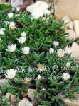 Photo Hardy Ice Plant characteristics