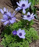 Photo Crown Windfower, Grecian Windflower, Poppy Anemone characteristics