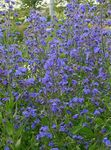 Photo Italian Bugloss, Italian Alkanet, Summer Forget-Me-Not characteristics