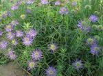 Photo Horned Rampion characteristics