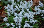 Photo Striped Squill, Snowdrift, Early Stardrift characteristics