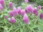 Photo Red Feathered Clover, Ornamental Clover, Red Trefoil characteristics