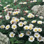 Photo Mount Atlas Daisy, Mt. Atlas Daisy, Pellitory, Spanish Chamomile characteristics