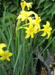 Photo Peruvian Daffodil, Perfumed Fairy Lily, Delicate Lily characteristics