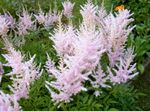 Photo Astilbe, False Goat's Beard, Fanal characteristics