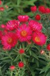 Photo New England aster characteristics
