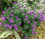 Foto New England Aster omadused
