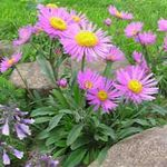 Photo Alpine Aster characteristics