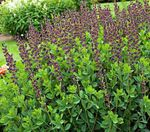 Photo False indigo characteristics