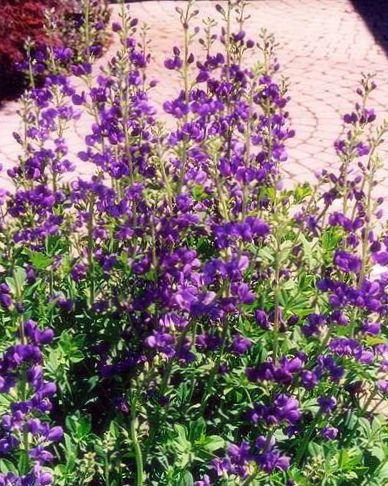 Trädgård Blommor Falsk Indigo (Baptisia) Fil, odling och ...