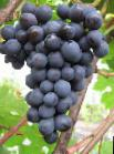 Photo Grapes grade Agat Donskojj