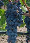 Photo Grapes grade Kishmish Attika