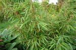 Photo Ornamental Plants Bamboo cereals (Fargesia), light green