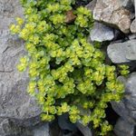 Photo Golden saxifrage characteristics