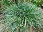Photo Blue Moor-grass characteristics
