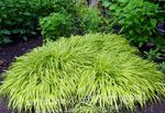 Photo Hakone Grass, Japanese Forest Grass characteristics