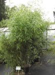 Photo Ornamental Plants Bamboo cereals (Phyllostachys), green