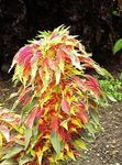 Photo Joseph's coat, Fountain plant, Summer Poinsettia, Tampala, Chinese Spinach, Vegetable Amaranth, Een Choy leafy ornamentals (Amaranthus-Tricolor), multicolor