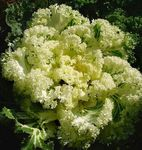 Photo Flowering Cabbage, Ornamental Kale, Collard, Cole characteristics