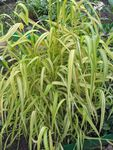 Photo Ornamental Plants Bowles Golden Grass, Golden Millet Grass, Golden Wood Millet cereals (Milium effusum), multicolor