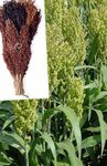 Photo Broom Corn characteristics