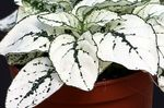 Photo Polka dot plant, Freckle Face characteristics