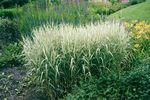 Photo Ornamental Plants Reed Canary grass cereals (Phalaris arundinacea), multicolor