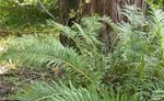 Photo Virginia Chain Fern characteristics