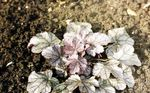 Photo Heuchera, Coral flower, Coral Bells, Alumroot characteristics