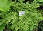 Photo Limestone Oak Fern, Scented Oak Fern characteristics