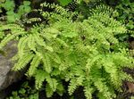 Photo Northern Maidenhair Fern, Five-finger fern, Five-fingered Maidenhair, American Maidenhair characteristics