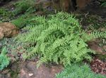 Photo Hay Scented Fern characteristics