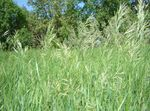 Photo Scented holy grass, Sweetgrass, Seneca Grass, Vanilla Grass, Buffalo Grass, Zebrovka characteristics
