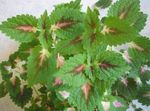 Photo Ornamental Plants Coleus, Flame Nettle, Painted Nettle leafy ornamentals , green
