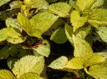 Photo Coleus, Flame Nettle, Painted Nettle characteristics