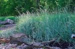 Photo Blue Lyme Grass, Sand Rye Grass characteristics
