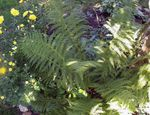 Lady fern, Japanese painted fern