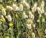 Photo Hare's Tail Grass, Bunny Tails characteristics