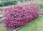 Photo Ornamental Plants Red Orach, Mountain Spinach leafy ornamentals (Atriplex nitens), burgundy,claret