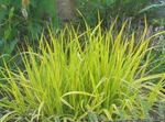 Photo Foxtail grass characteristics
