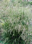 Photo Tufted Hairgrass, Golden Hairgrass, Hair Grass, Hassock Grass, Tussock Grass characteristics